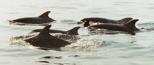 Dolphins Abersoch